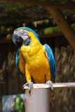 Scruffy old parrot. Scruffy,colourful old parrot, very sharp at full size royalty free stock photo