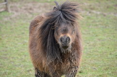 Scruffy Pony Stock Images