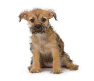 Scruffy Puppy Stock Photos
