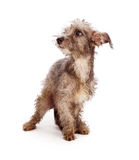 Scruffy Shy Rescue Dog. Timid little scruffy mixed breed terrier rescue dog with dirty and messy fur standing against a white backdrop Stock Images