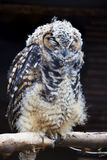 Scruffy Sleeping Cape Eagle Owl Stock Photos