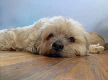 Scruffy. Takes a break on the floor Royalty Free Stock Photography