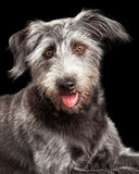 Scruffy Terrier Crossbreed Closeup Black Background Stock Image