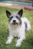 Scruffy terrier on the grass. A scruffy grey white black terrier lying on the grass outdoors Royalty Free Stock Photos
