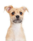 Scruffy Terrier Puppy Close-up Royalty Free Stock Photos
