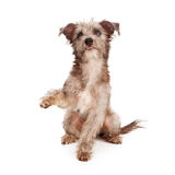 Scruffy Terrier Puppy Shaking Paw Stock Images