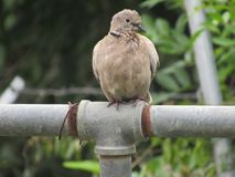 Scruffy Tobacco Dove on a perch. Close-up shot of a Tobacco Dove with a scruffy appearance, sitting on a T-shaped metal perch Stock Photo