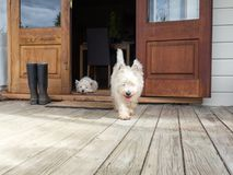 Scruffy westie dog walking out of open farmhouse door onto deck. Another west highland terrier is lying in the background - photographed in New Zealand, NZ Stock Image