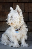Scruffy Westie Stock Images