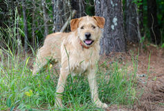 Scruffy Wirehaired Terrier Mixed Breed Dog. Scruffy Wire haired Terrier Mixed Breed Dog, Walton County Animal Control, humane society adoption photo, outdoor pet Stock Image