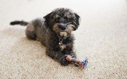 Scruffy Yorkiechon puppy with toy indoors. A cute, scruffy Yorkiechon puppy dog with a chew toy on a light berber carpet Royalty Free Stock Photo