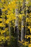 Scrutando attraverso l'Aspen nel Wyoming Fotografia Stock