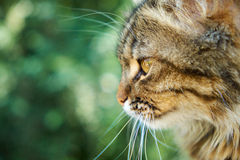 Scrutiny. Yellow-brown cat stares at something, profile view Stock Photography