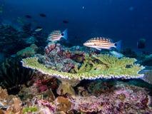 Dive photo in Thailand phuket similan. Scuba dive coral fish sea anemone Indian Ocean Marine life reef Thailand phuket similan royalty free stock photo