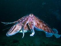 Dive photo in Thailand phuket similan. Scuba dive coral fish squid The mating Indian Ocean Marine life reef Thailand phuket similan stock images