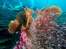 Dive photo in Thailand phuket similan. Scuba dive divers coral fish sea anemone Indian Ocean Marine life reef Thailand phuket similan royalty free stock photos