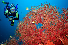 Scuba diver. Underwater landscape with scuba diver and gorgonian coral royalty free stock photos