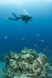 Scuba diver. Diver over coral reef in the Bahamas Royalty Free Stock Images