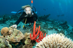 Scuba diver. Blonde female scuba diver enjoys a dive in clear blue water with red coral Royalty Free Stock Photos