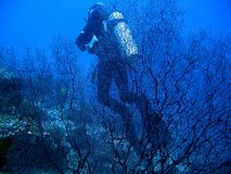 Scuba diver. Behind a ferncoral Royalty Free Stock Photos
