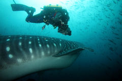 Scuba diver approaching whale shark in galapagos i Stock Photos