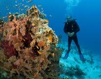 Scuba diver close to soft coral Stock Image