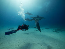 Scuba diver with dolphins in red sea Stock Photography