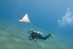 Scuba diver and eagle ray. royalty free stock image