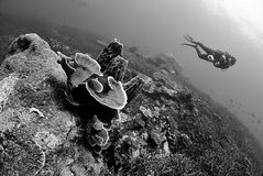 Scuba diver explore in Staghorn Coral reef royalty free stock photography