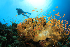 Scuba Diver explores Beautiful Coral Reef Stock Photo