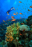 Scuba Diver explores coral reef Stock Photos