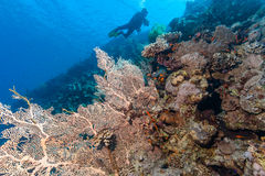 SCUBA diver with a fan coral. A SCUBA diver in silhouette next to a large fan coral royalty free stock images