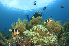 Scuba Diver finds Nemo fish Royalty Free Stock Images