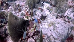 Scuba Diver and several tropical fish in the Caribbean. A Scuba Diver, foureye butterfish, blue tang, and parrot fish in the Caribbean stock video footage