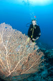 Scuba diver with giant fan coral Royalty Free Stock Images