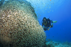 Scuba Diver and Glassfish Stock Photo