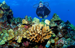 Scuba Diver on a Kona Reef. Kona Reef Scene with Diver Stock Photography