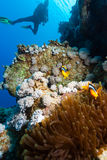 SCUBA Diver looks at a pair of Clownfish. A SCUBA diver looks at a pair of clownfish on a coral reef royalty free stock photography