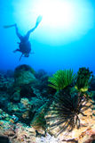 SCUBA diver next to feather stars. Colorful feather stars and a SCUBA diver on a tropical coral reef royalty free stock photography