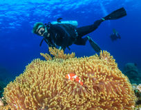 SCUBA diver next to a large anemone and clownfish Royalty Free Stock Images