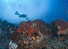 Scuba diver over coral reef. Stock Photo