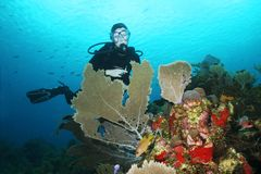 Scuba Diver with Sea Fans in the foreground royalty free stock photography