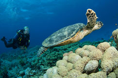 Scuba diver with sea Turtle Royalty Free Stock Photography