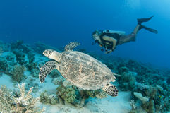 Scuba diver and sea Turtle Stock Photography