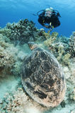Scuba diver with sea turtle on coral reef Royalty Free Stock Image
