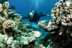 Scuba diver in shallow water. And coral Stock Image
