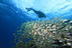 Scuba Diver and Shoal of Fish Royalty Free Stock Image