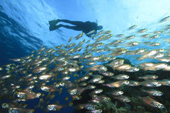 Scuba Diver and Shoal of Fish Stock Photography