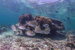 Scuba diver with snapper school Stock Photos