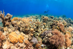 SCUBA diver on a thriving reef. Colorful and thriving coral and a SCUBA diver swimming in the distance royalty free stock photos